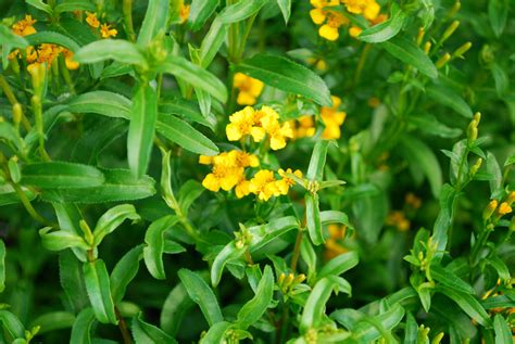 Russian Flower Names - gallery for gt tarragon flower