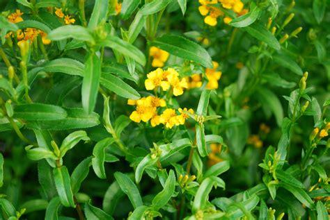 growing mexican tarragon bonnie plants