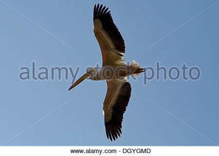 pelican boat south africa african pelican ethiopia stock photo royalty free image