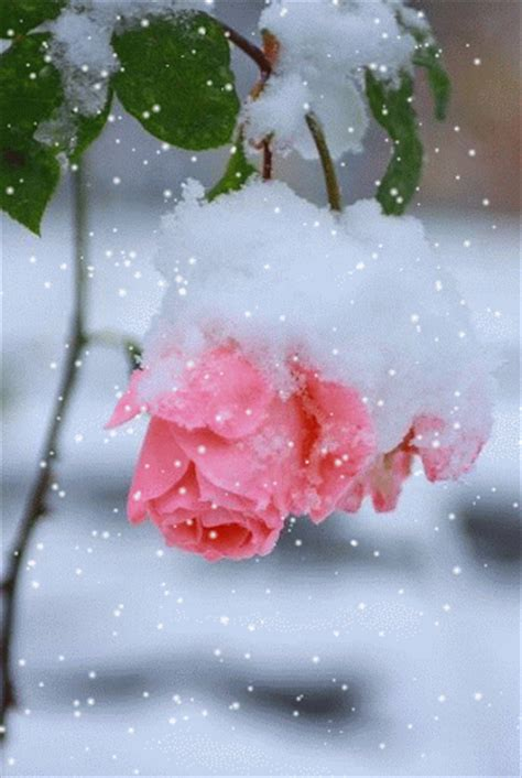 Frozen Pink Flower frozen pink roses pictures photos and images for