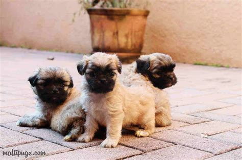 maltese pug top 10 world most popular maltese mix breeds