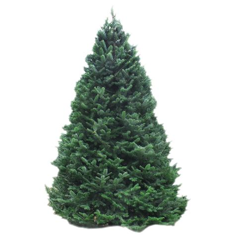 balsam tree 5 6 balsam fir trees trees products