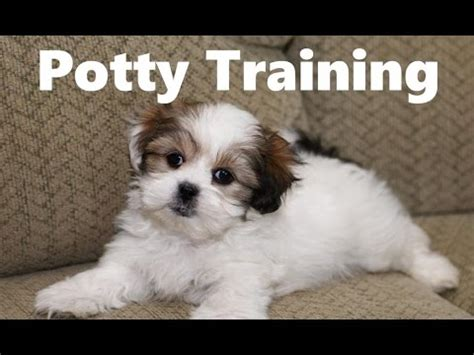 how to potty a 6 week puppy mal shi puppies at 5 weeks funnydog tv