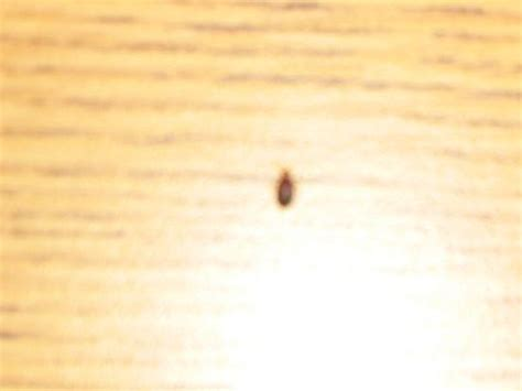 tiny bed bugs small bed bug images bangdodo