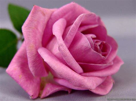 wallpaper cute rose cute pink flowers wallpaper wallpapersafari