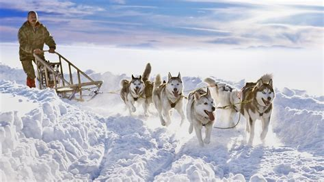 how are dogs how are sled dogs trained reference