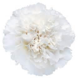carnations in bulk white carnations carnations wholesale carnations bulk carnations buy carnations