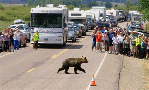 Yellowstone Brigade yellowstone manages instead of grizzlies during