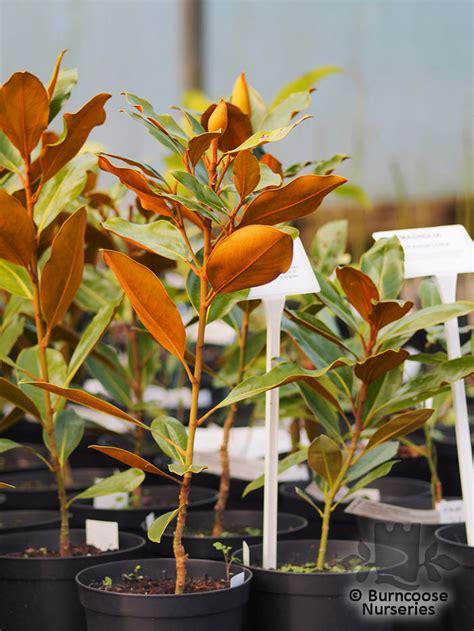 magnolia grandiflora  gem  burncoose nurseries