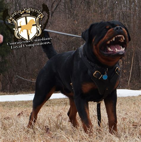 how big do rottweilers get leopard v rottweilers 3