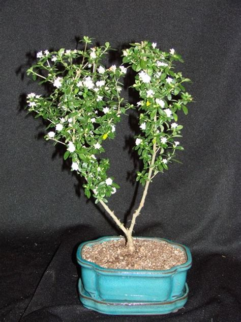 Bonsai Serisa 10759 Limited serissa foetida miniature worlds