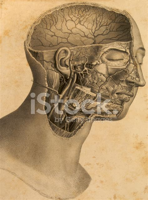 plats in head gallery antique anatomy plate of human head stock photos