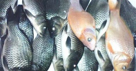 cara buat umpan ikan mas terbaik cara membuat umpan ikan mas besar cara membuat umpan jitu