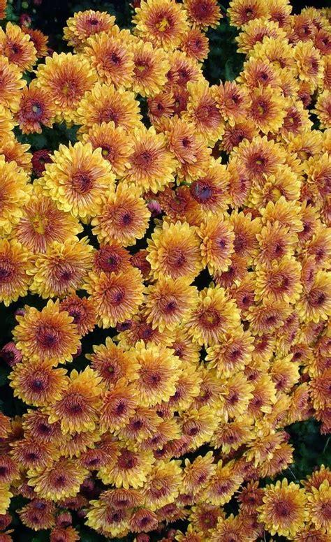 fall mums flowers pinterest