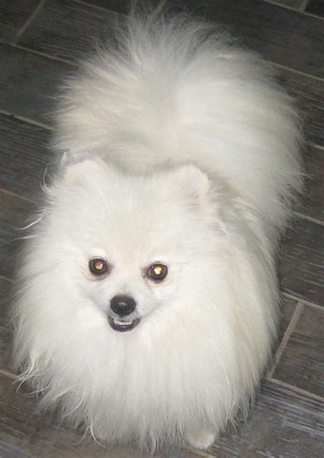 pomeranian sale below are our exles of whites we produced here to give you an idea what our