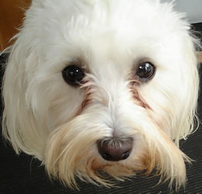 tear stains tear staining causes and cures havanese fanciers of canada