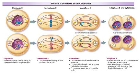 Chromosomes and Cell Division - Biology of Humans Meiosis Stages