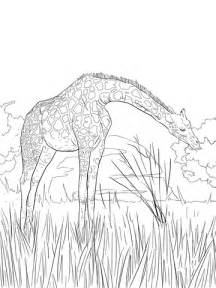 West African Giraffe coloring page | Free Printable