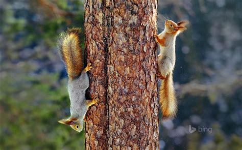 bing pictures as wallpaper squirrel squirrel recherche de nourriture 2015 bing fond d 233 cran