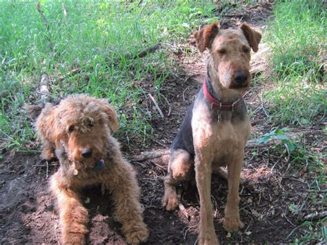 airedale puppies for sale in michigan airedale terrier puppies for sale near fork union virginia akc marketplace
