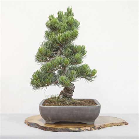 www bonsai haus de 187 mochi probieren im bonsaigarten auf kurs