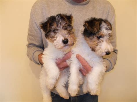 Small Dogs Home Walsall Wire Fox Terrier Puppies For Sale Walsall West Midlands