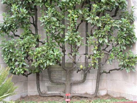 espalier fruit trees mastergardening com