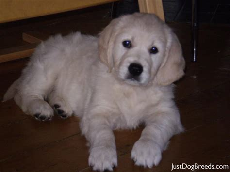 hypoallergenic golden retriever martha golden retriever breeds