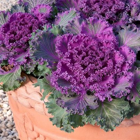 light for plants in winter ornamental cabbage northern lights fringed 6 plants