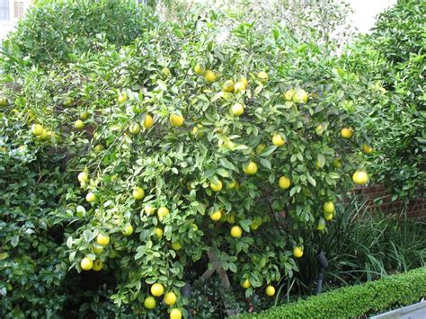 backyard lemon tree 1000 images about garden orchard on pinterest yards