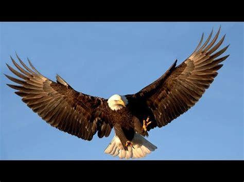 Borneo Ukuran Besar burung elang ukuran besar borneo