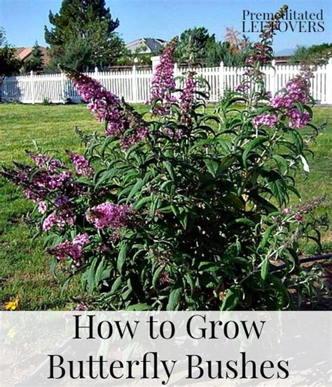 how to grow butterfly bushes summer front design and to