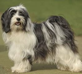 tibetan terrier puppies sale tibetan terrier puppies for sale uk