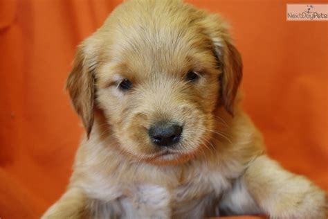 golden retriever puppies louisville golden retriever puppy for sale near louisville kentucky 31126f91 efe1