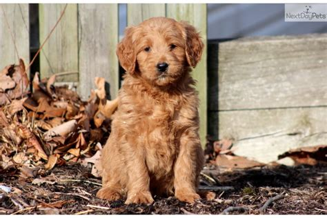 goldendoodle puppy rescue pa goldendoodles for sale in pa www proteckmachinery