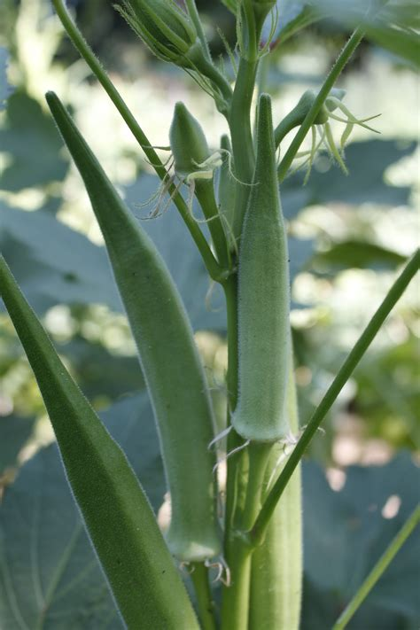 okra plants okra ornamental and edible a southern garden