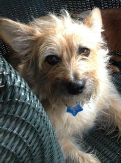 yorkie rescue tulsa evie terrier crested mix new addition 07 12 perhaps