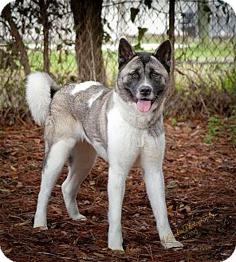 puppies for adoption jacksonville fl jacksonville fl akita mix meet shiloe a for adoption