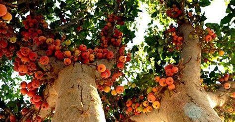 Buah Cinta Fruit islam cinta dan kesihatan khasiat dan kelebihan buah tin