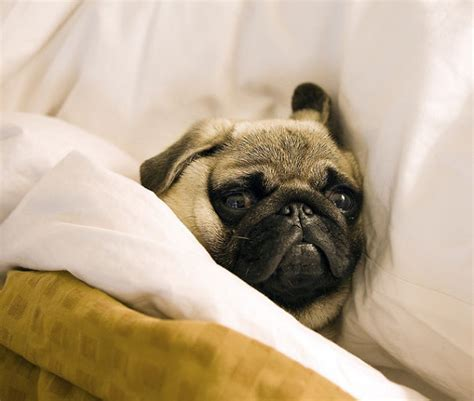 nel letto foto di cani che dormono nel letto dei padroni 23 keblog