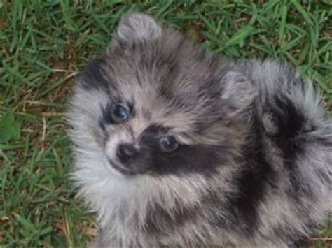 pomeranian puppies for sale in kent in both chocolate merle parti and blue merle parti breeds picture