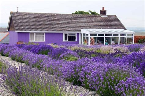 Lavender Garden Ideas The Gallery For Gt Hidcote Lavender Hedge