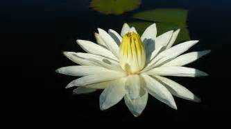 White Lotus White Lotus Wallpaper 245366