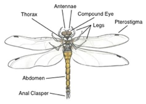 dragonfly anatomy diagram black darter trees for