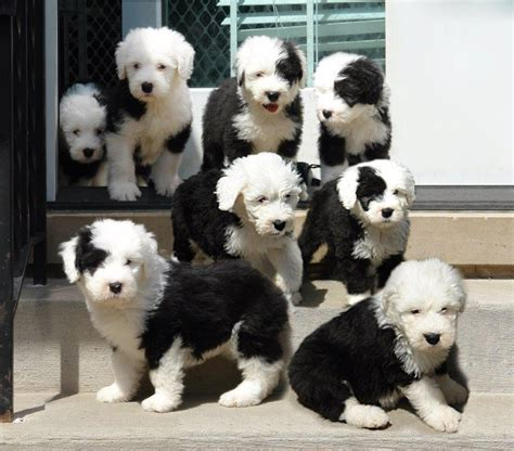 sheepdog puppies interested in buying a sheepdog puppy chicago sheepdog club