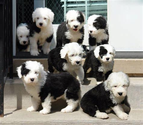 sheepdog puppy interested in buying a sheepdog puppy chicago sheepdog club