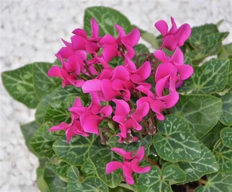 fiori da giardino autunnali fiori autunnali 7 piante colorano l autunno