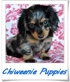 chiweenie puppies for sale in pa puppies for sale in pa ridgewood s puppy adoptions