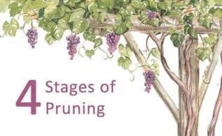 Training Grape Vines Pergola by Training Grapevines On An Arbor Fine Gardening