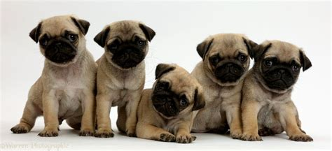 pug puppies pictures free pug puppies images puppies puppy